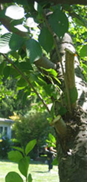 Tree Pruning photo